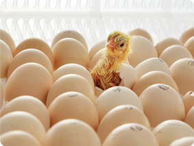 chicks hactching